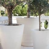 Ravel-cycas-blanc